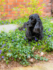 19/52 - Sammy 2017 (conniegavin12) Tags: 52weeksfordogs fieldspaniel spaniel dog pet flowers periwinkle