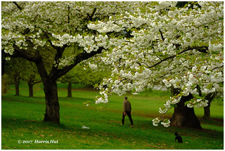 Walk Under The Blossoms - Queen Elizabeth Park XP6379e