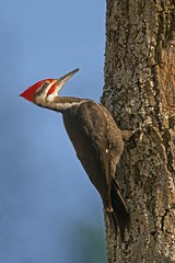 Pileated3Plus(2) (Rich Mayer Photography) Tags: pileated woodpecker wood pecker bird birds animal animals fly flight flying nature wildlife wild life wing wings nikon