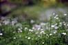 HBW! :) (Frau Koriander) Tags: stellaria sternmiere nature natur pflanze plant flower flowers blüte blüten blooming blossoms blühend weiseblütenimwald blütenkissen starwort stitchwort chickweed bell dof bokeh happybokehwednesday bokehwednesday hbw nikond300s nikkor5512 f12 forest forestfloor wald woods waldboden germany darmstadt deutschland outdoor