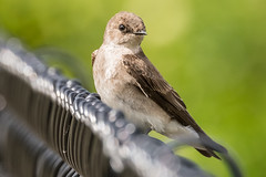 Northern rough winged Swallow (mjeedelbr) Tags: swallow northern rough winged