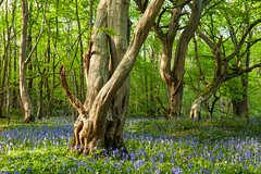 Bluebeams (S l a w e k) Tags: bluebells flowers hornbeam trees woodland woods forest spring springtime sussex england britain uk countryside nature natural landscape picturesque