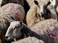 Shropshire sheep (Baz Richardson (now away until 27 May)) Tags: shropshire sheep animals farmanimals