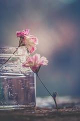Stillness (RoCafe Off for a while) Tags: stilllife flowers tiny bottle wood backlight selectivefocus bokeh soft pastels macro nikkormicro105f28 nikond600