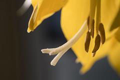 Griffel und Staubfäden einer gelben Kaiserkrone stamens, style and stigma of a crown imperial blossom (riesebusch) Tags: berlin garten marzahn