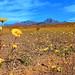 Death+Valley+Super+Bloom+2017