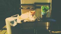 Pino (Peeano Photography - ピアーノ写真) Tags: pino cat love garden chillin relaxing sunlight famlay homesweethome