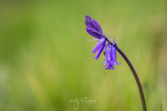 Bluebells season (Pastel Frames Photography) Tags: oxford nature reserve northernireland wild flowers bluebells bokeh macro macrophotography canon5dmark3 tamron 90mm natue colours sighseeing