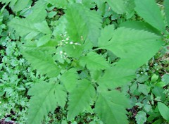 Mountain Sweet Cicely, Sweet Root - Osmorhiza berteroi (O. chilensis) (tlhowes2012) Tags: root seed condiment antiseptic carminative deodorant febrifuge ophthalmic oxytoxic pectoral poultice skin stomachic incense insecticide