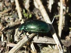 Green Beetle (robinslomkowski) Tags: mayday2017 wutzsee nopeeps tansy beetle
