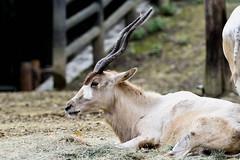 Addax (弓角羚羊) (scv1_2001) Tags: nikon nikon70200mmvrii nikond750 taiwan taipeizoo 台北市立動物園