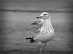 Seagull III (Alexander Day) Tags: seagull seagulls bird avian birds animal animals fauna alex day alexander blackandwhite vignette