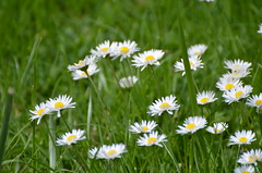 Free daisies (dfromonteil) Tags: daisies fleurs flowers nature plant plants grass herbe white yellow green vert blanc jaune colors couleurs spring printemps light lumière macro bokeh