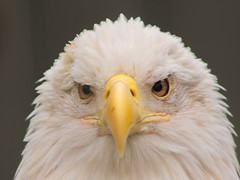 Bald Eagle 4 (dennisgg2002) Tags: bronx zoo new york city nyc ny