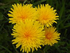 Dandelions (Sharon B Mott) Tags: dandelions flowers springflowers wildflowers spring yellow ravenfieldpark april nature