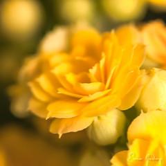 Gentle # 2 (Enio Godoy - www.picturecumlux.com.br) Tags: gentle blur nikon macro niksoftware clouseup flower subtle nature viveza27133307546 nikond300s yellow naturelight suave flores
