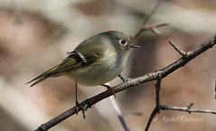 Roitelet à couronne rubis - Ruby-crowned Kinglet (MichelGuérin) Tags: 2017 april avril canada exterior extérieur googlenikcollection lightroomcc michelguérin nature nikcollection nikon nikonafsnikkor200500mmf56eedvr printemps qc québec refugefauniquemargueritedyouville reguluscalendula roiteletàcouronnerubis rubycrownedkinglet animal arbres bird oiseau tree châteauguay