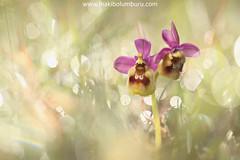 FREIXENET (Obikani) Tags: orquídea macro álava luz araba orchis tenthredinifera wild nature flower flor natural naturaleza