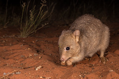 Burrowing Bettong (R. Francis) Tags: burrowingbettong boodie bettongialesueur aridrecovery aridrecoveryreserve roxbydowns olympicdam ryanfrancis ryanfrancisphotography southaustralia sa