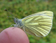 Green veined white (Peanut1371) Tags: greenveinedwhite insect butterfly butterflie finger nationalgeographicwildlife