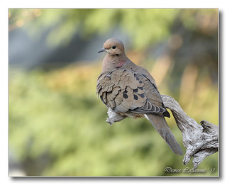 103A8753-DL   Tourterelle triste / Mourning Dove.