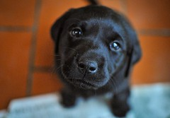 170428-Bluebellwoodsandpuppies (105)-1ps (Mphotograph) Tags: puppies labrador labradorlitter puppylitter photo nikon spring