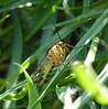 Skorpionsfliege 1/2 (four-hearts) Tags: skorpionsfliege insekt natur tier gras frühling frühjahr schnabelfliege fluginsekt sechsfüser lebewesen neuflügler pflanzen grashalme
