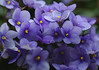 Miniature Violets (Dino Langis) Tags: pottedplants flowers violets magicunicornverybest legacy stilllife its all about pinnaclephotography saariysqualitypictures excellentsflowers buttergarden thebestofmimamorsgroups