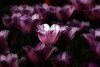Tulips (Fortuitous Light) Tags: tulips spring flowers floral pink nature fantasticflower