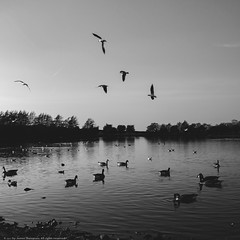 Keighley Tarn (>James Thompson<) Tags: blackwhite blackandwhite monochrome tarn lake water birds ducks duck swan geese