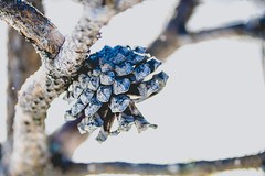 Conifer cone (mirri_inc) Tags: macro macromondays nature outdoors cone pine cold hard grey