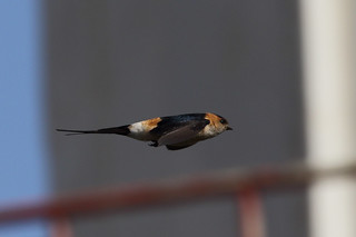 Red rumped flyby