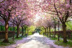 Pink (GeraldGrote) Tags: spring cherryblossom parkbank weg tree braunschweig bridge frühling kirschblütte brücke niedersachsen germany de