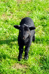 A little black lamb (Jayembee69) Tags: lamb black animal sheep baby spring springtime langley farm farming herts hertfordshire england english britain british uk unitedkingdom field lookup