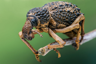 Warty weevil