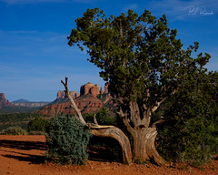 Juniper Tree (PJ Resnick) Tags: 2017sedona pjresnick perryjresnick pjresnickgmailcom pjresnickphotographygmailcom sedonaaz ©2017pjresnick ©pjresnick nature light fuji fujifilm atmosphere atmospheric digital shadow texture shadows yellow angle perspective naturallight white xf fujinon resnick plant outdoor green brown orange rectangle rectangular color colour sky clouds blue xpro2 fujifilmxpro2 desert 35mm fujinon35mmf14 35mmf14 landscape sand bush 4x5 tree junipertree redrockstatepark az sedona cathedralrock cathedralrockaz sundown sunset velvia filmsimulation