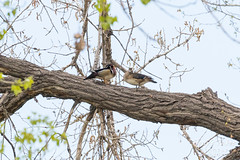 Wood Ducks hanging out in the trees