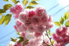 Last year's spring (DameBoudicca) Tags: tokyo tokio 東京 japan nippon nihon 日本 japón japon giappone shiba 芝 東京都港区 cherryblossom sakura kirschblüte 桜 japanischekirschblüte fleursdecerisier fiorediciliegio サクラ körsbärsblomma tree träd 木 baum arbre pink rosa rose ピンク flower blossom blomma blüte flor fiore fleur 花 はな sky himmel cielo ciel 空 spring vår frühling frühjahr primavera printemps 春 はる