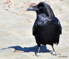 DSC_0300 (rachidH) Tags: birds crow raven corbeau corneille oceanbeach pacific ocean sanfrancisco california ca commonraven corvuscorax grandcorbeau corvus corvids corvidae rachidh nature