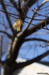 Survivor (rumimume) Tags: potd rumimume 2017 niagara ontario canada photo canon 80d sigma leaf tree bare sky outdoor sun