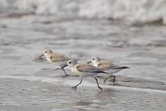 Run, run, run! (dingmank13) Tags: tiny favorite ingroups fly run fast cute shy bird water little small sandpiper western