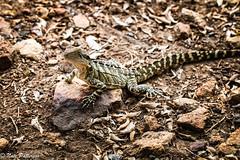 Water Dragon (Nate_Patterson) Tags: lizard wild reptile brisbane river water