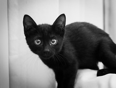 Forlorn eyes (stratman² (busy-taking care of Joey)) Tags: canonphotography powershotg7xmarkii monochrome blackwhite bw lowlightphotography indoors blackcats kittens chat gato neko kucing cc100 flickrelite catmoments kitteh cat kitten iso3200 kittenmagazine