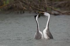 clark's grebe moses lake washington (lee barlow) Tags: d7200 aechmophorusclarkii birdsofnorthamerica clarksgrebe leebarlow moseslake nikon washingtonstate