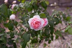 Rosa (albert.o_bertoni) Tags: rosa 000appoggio fiori piante categoria complesse fiore genere marca natura razza risma sorta specie stampo varietà