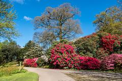 Muncaster Castle Gardens (Maria-H) Tags: copelanddistrict england unitedkingdom gb muncastercastle gardens cumbria lakedistrict uk olympus omdem1markii panasonic 1235 rhododendrons