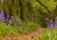 Bluebell Pathway (Anthony White) Tags: stokeabbott england unitedkingdom gb ironagefort dorset bluebells trees green spring springtime southwestdorset beaminster