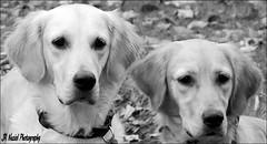 Mother and Daughter Act (John Neziol) Tags: jrneziolphotography goldenretriever fieldretriever pointynoseddogs interestingdogposes dognose nikoncamera nikondslr nikon outdoor pet portrait dog animal blackwhite monochrome