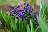 hyacinthus (delft blue) (bonzerg) Tags: nikon d5100 nature village flowers helios helios442 bokeh green garden violet hyacinthus