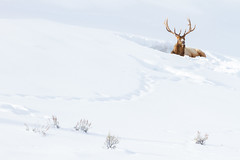 Bull Elk (James Shooter) Tags: usa cervuscanadensis winter nature nationalpark bull yellowstone snow wildlifephotography january wildlife mountainous snowy yellowstonenationalpark wapati elk mountain
